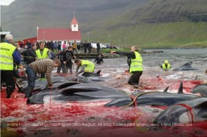 【デンマーク】海が真っ赤に染まる フェロー諸島のクジラ追い込み漁  物議をかもす(動画あり) YouTube動画>19本 ->画像>83枚