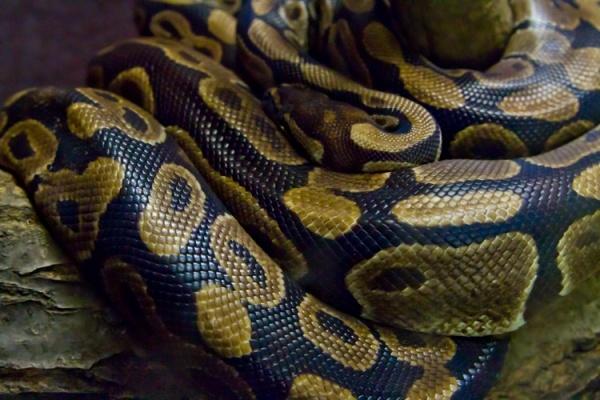 ガスオーブンの片隅に体長60cmのニシキヘビ(画像はイメージです)
