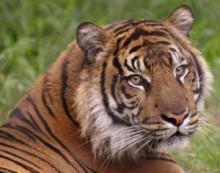 【アジア発!Breaking News】国立公園から雌トラが脱走して3週間。犠牲者はついに7名。(印)