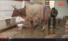 【アジア発!Breaking News】「血糖値が下がりがんが治る」。そう信じて牛の尿を飲むヒンドゥー教徒たち。(印)