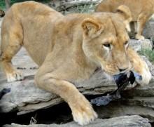 【アフリカ発!Breaking News】トイレの個室にライオンが! ピクニックスポットでの恐怖。(南ア)