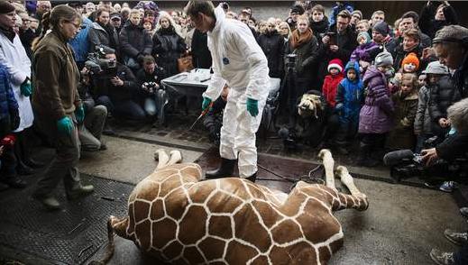 【EU発!Breaking News】殺処分となったキリンを見学者の目の前でライオンのエサにした動物園。(デンマーク)