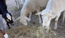 【アフリカ発!Breaking News】真夜中に走る霊柩車! 盗んだヤギを殺して運んでいた男らが逮捕。(南ア)
