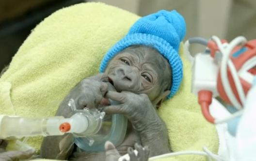 【米国発!Breaking News】ゴリラが帝王切開で出産。サンディエゴ動物園サファリパークで。