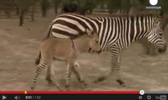 ロバとシマウマのミックス馬が誕生。画像はYouTubeのスクリーンショット