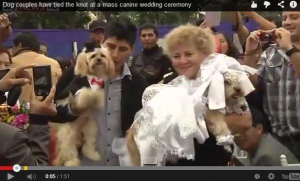【南米発!Breaking News】オスはタキシードでメスは純白のウェディングドレス。ペルーで犬の合同結婚式。