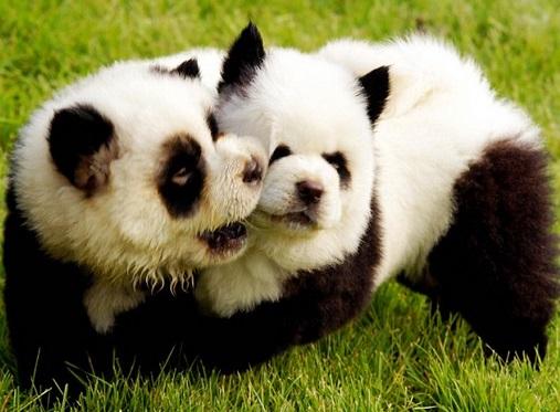 【アジア発!Breaking News】「パンダ風の犬」がペットショップで好セールス。(中国)