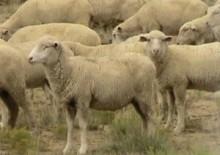 【豪州発!Breaking News】羊800頭が薬物中毒症状で次々と変死。原因はなんと火事。(豪)