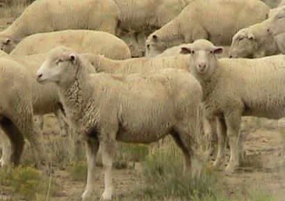 豪で800頭もの羊がヘロイン中毒…? 画像はイメージです