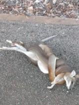【豪州発!Breaking News】家の前でニシキヘビがカンガルーを襲い圧迫死。招待客もビックリ。(豪)