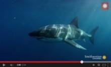 【豪州発!Breaking News】モンスター級の深海魚? GPS追跡調査下で2.7mホホジロザメ、襲われ飲み込まれる。(豪)