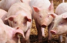 【アフリカ発!Breaking News】「割礼をしていないから」と侮辱され続けた男性、豚20頭を略奪される。(南ア)
