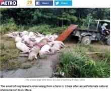 """【アジア発!Breaking News】豚170頭が即死。幻の光の玉""""球電""""が養豚場を襲う。(中国)"""