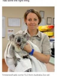 【豪州発!Breaking News】交通事故にも生き延びた奇跡のコアラ。走行中の車にしがみつき88km辛抱。(豪)