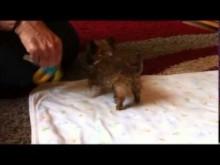 【EU発!Breaking News】英国一のミニサイズ犬、タイソン君はこれで生後5か月。<動画あり>