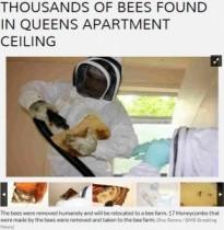 【米国発!Breaking News】ミツバチの大群がアパートの天井裏に! 17個の巣に5万匹。(NY州)