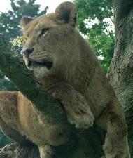 【南米発!Breaking News】サーカスのライオン、遠足に来ていた児童の前で教師を襲う。(ペルー)