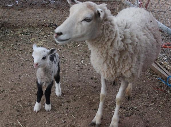 """【米国発!Breaking News】父親がヤギで母親が羊。あまりに可愛い""""バタフライ""""ちゃん大人気。(アリゾナ州)"""