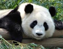 【アジア発!Breaking News】雌のパンダ、食事や住環境の待遇改善を狙って「妊娠した」フリも。(中国)