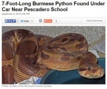 【米国発!Breaking News】2m超のビルマニシキヘビ、小中学校近くの駐車場で見つかる。(加州)