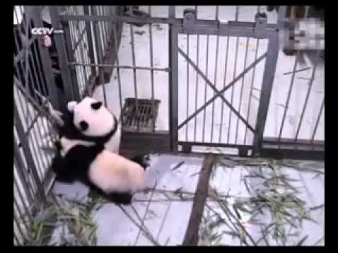 【海外発!Breaking News】人工繁殖のパンダは母親より飼育係が好き。脚にすがりつき「行かないで」(中国)