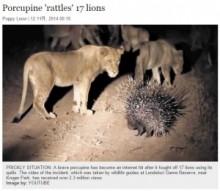 【海外発!Breaking News】17頭のライオンを追い払った! ヤマアラシの勇敢な姿。(南ア)<動画あり>