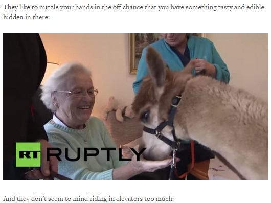 【海外発!Breaking News】高齢者向けアニマルセラピーにアルパカが登場。ふわふわな毛と大きな瞳が大人気。(独)