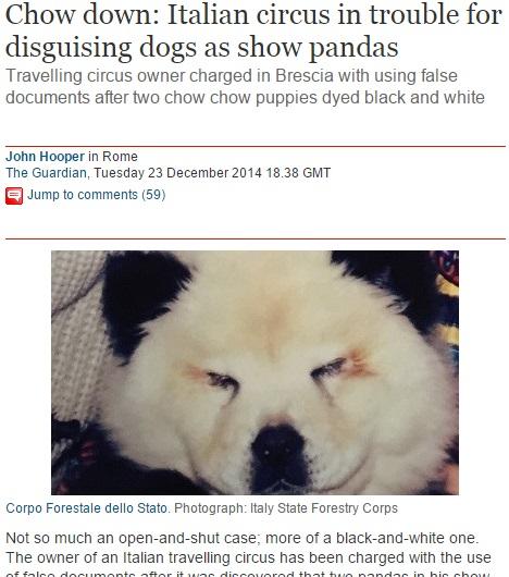 チャウチャウ犬がパンダ風に染められた!(画像はtheguardian.comのスクリーンショット)
