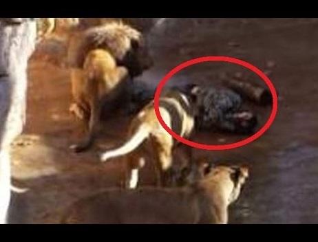 【海外発!Breaking News】ネオナチ男性、バルセロナ動物園ライオンの檻に侵入。重傷で救急搬送。