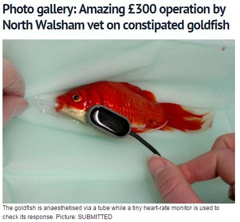 【海外発!Breaking News】便秘の金魚に5万円の手術を受けさせた心優しい男性。(英)