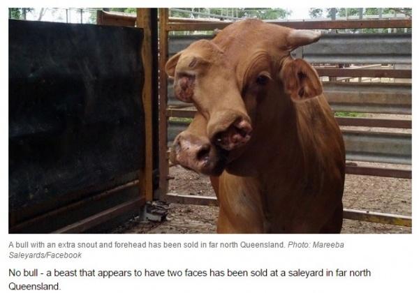 【海外発!Breaking News】顔に大きな奇形を伴った雄牛、市場へ出荷され競り落とされる。(豪)