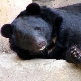 """【海外発!Breaking News】黒い""""子犬""""をペットにした中国人男性、2年後にクマだと知る。"""