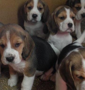 【海外発!Breaking News】3,000匹のビーグル犬は動物実験向け。特殊ブリーダーの存在を認める英政府。