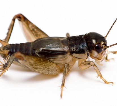 【海外発!Breaking News】完全食品の昆虫が食糧難を救う? 通は「幼虫タコスにイナゴのハンバーグ」