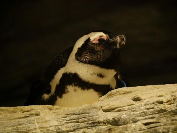 【海外発!Breaking News】2日で8羽が被害に! 絶滅危惧種のアフリカンペンギン、犬に殺される(南ア)