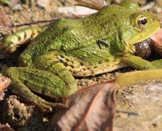 中国で「てんかんは生きたカエルを飲めば治る」の誤った情報(画像はイメージです)