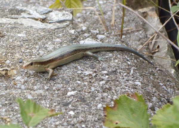 アリゾナ州のスタバで異物混入騒動。ラテに小トカゲの死骸が。