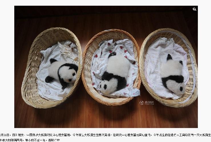 【海外発!Breaking News】赤ちゃんパンダが10匹も。中国・四川省の「パンダ基地」が喜びのお披露目。