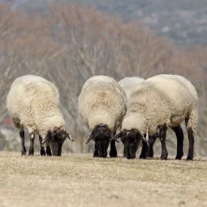 """【エンタがビタミン♪】ふかわりょう、""""羊飼い""""の夢をブラマヨ・吉田にぶった斬られ涙目に。"""