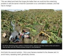 【海外発!Breaking News】バナナ絶滅の危機に? 欧州専門家ら「早急な対策が必要」と警告