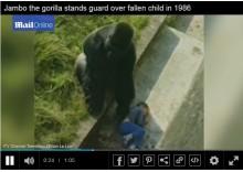 【海外発!Breaking News】30年前動物園のゴリラに助けられた男性、今も感謝忘れず(英)
