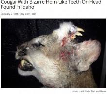 【海外発!Breaking News】アメリカライオンの頭部に鳥のような頭が! 結合体双生児か(米)