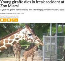 【海外発!Breaking News】動物園の赤ちゃんキリン、フェンス隙間の蝶番で首を吊る!(米)