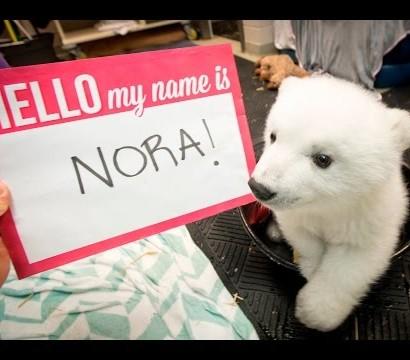 【海外発!Breaking News】生後3か月の北極グマ「ノラ」 世界の人気者に(米)
