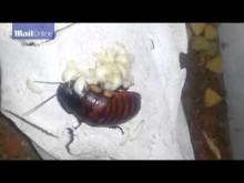 【海外発!Breaking News】ゴキブリをペットにする人々!! 「不快だなんて言わないで」(南ア)
