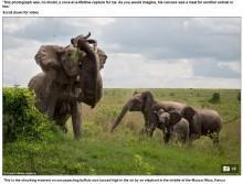 メスのゾウ、バッファローを投げ飛ばす 貴重な瞬間をキャッチ(ケニア)