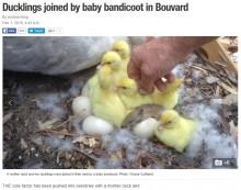 【海外発!Breaking News】鴨の家族に紛れ込んだ小動物 キミは誰?(豪)