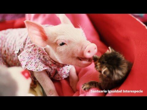 【海外発!Breaking News】種別を超えた愛 子豚と子猫のツーショットが愛おしすぎる(チリ)<動画あり>