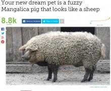 【海外発!Breaking News】羊? 豚? 毛むくじゃらの「マンガリッツァ」が人気に(ハンガリー)
