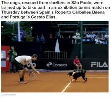 """【海外発!Breaking News】元捨て犬 テニス「ブラジル・オープン」で""""ボールドッグ""""に<動画あり>"""